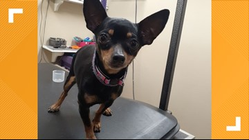 Michigan authorities searching for couple who threw 6 Chihuahuas out of a moving van